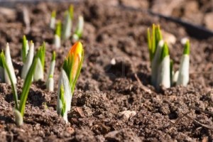 -bud-yellow-crocus-growing-in-the-ground